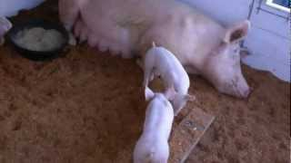 Elma Fair, mother pig with her wild and crazy piglets