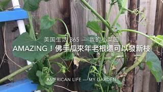 美國生活 365 -- 怎麼種佛手瓜(合掌瓜)? -- AMAZING! 佛手瓜來年老根可以發新枝(種的佛手瓜可以過冬)
