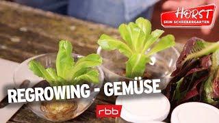 Regrowing oder: kann man Gemüse einfach so nachwachsen lassen?   Horst sein Schrebergarten