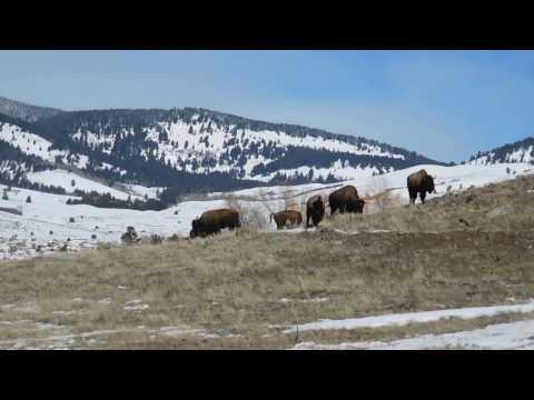 Yellowstone Deer Bison Bighorn sheep