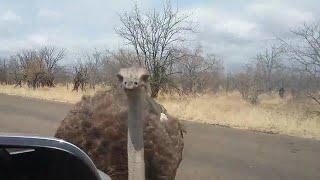 Curious ostrich pecks tourist on the head
