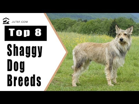 Top 8 Shaggy Dog Breeds