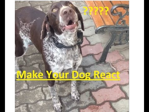 Confused Dog, Reaction To Barking |  Makes Your Dog Bark