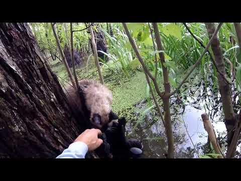 Услышав плач, мужчина бросился в болото, кишащее аллигаторами спасать котенка!