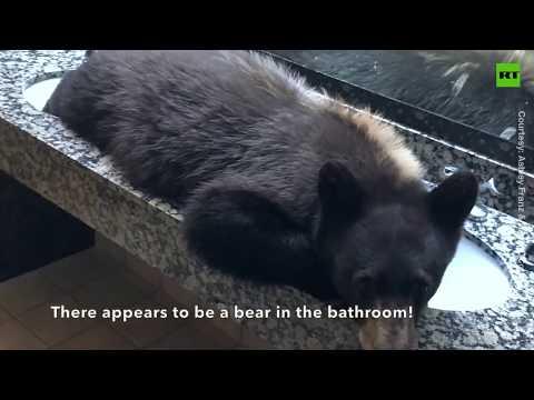 Frosty - Bear breaks into hotel...naps in bathroom