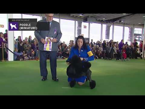 Poodles (Miniature) | Breed Judging 2019