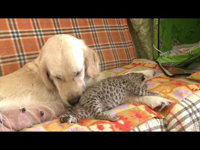 Ternura animal: una perra adopta y amamanta a un leopardo