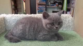 Британский котик продается 9126024782 г. Екатеринбург