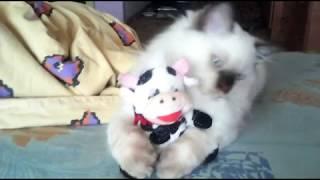 Невская маскарадная порода кот Ден Лотос. На ночь глядя. (20180320)