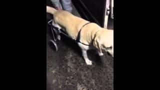 犬用車椅子わんだふるウォーカーをラブラドールレトリバーちゃんが使用...