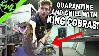 QUARANTINE AND CHILL with KING COBRAS!!!