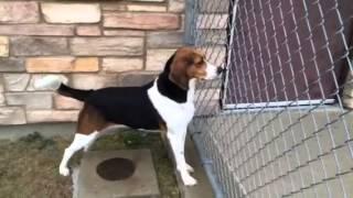 Bailey - Neutered Adult Male Beagle-harrier Mix