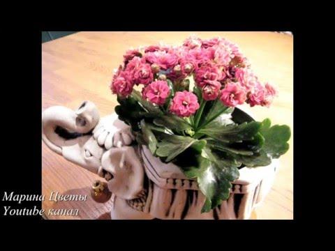 Каланхое -  выращивание, уход, лечебные свойства.  Комнатные и садовые  цветы