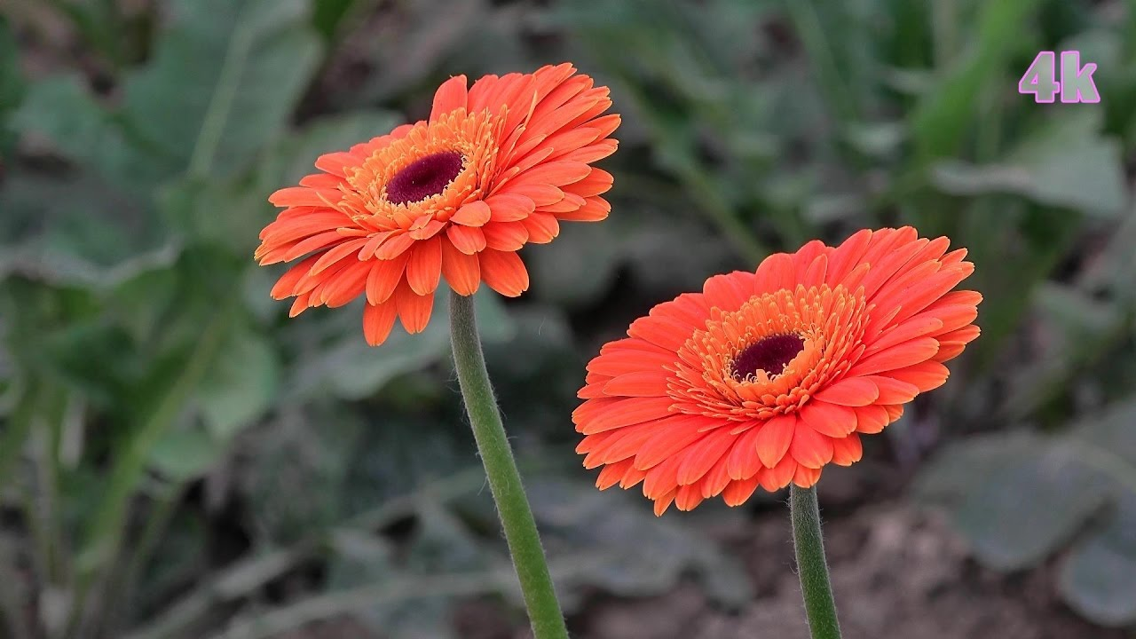 Commercial cultivation of gerbera daisy flower at jessore commercial cultivation of gerbera daisy flower at jessore bangladesh in 4k izmirmasajfo Choice Image