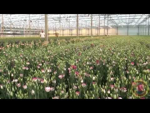 Van VLIET Flower Group - Gebr. van der Lugt Lisianthus