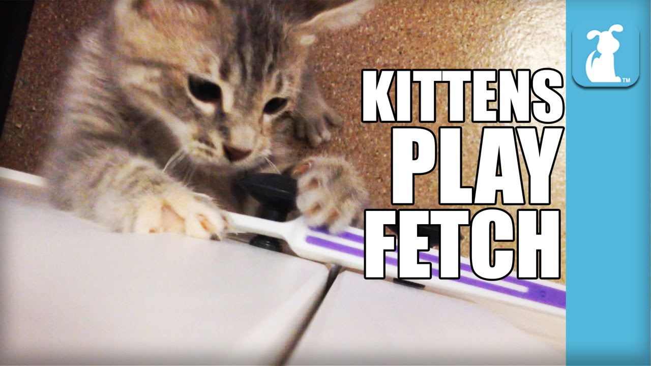 kitten fetches toothbrush 11 times kitten love youtube
