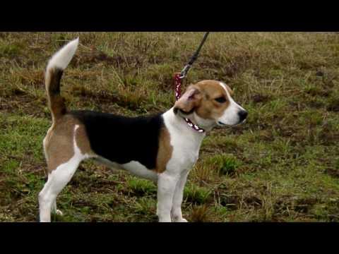 Порода собак. Немецкая гончая.Милая и приятная собачка. Очень любит прогуляться с хозяином