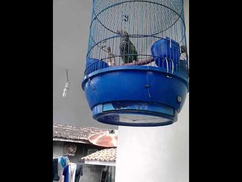 Burung Takur Bultok Youtube