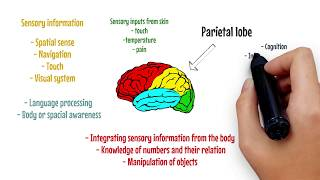 BRAIN VIDEOS | The Parietal Lobe Explained | John Droguett Academy