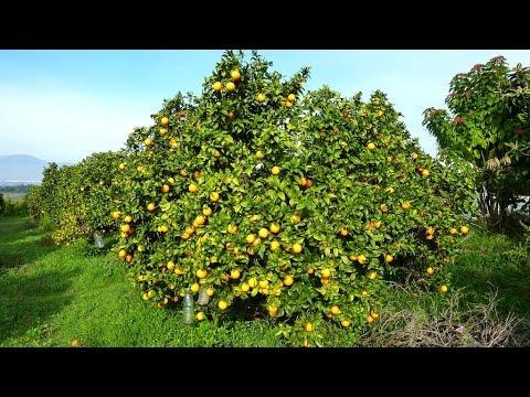 C mo fertilizar adecuadamente cultivos frutales tvagro por juan gonzalo angel youtube - Cuando se plantan los arboles frutales ...