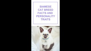 Siamese Cat Breed Facts and Personality Traits #Shorts