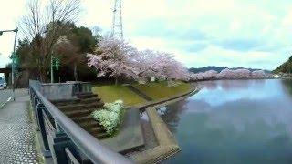 桜満開 南丹市八木町の水鳥の池(平の沢の池)[4K]/Cherry blossom in Nantan City, Kyoto