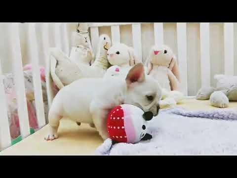 Cream French Bulldog Eddie 2