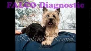 Cairn Terrier Pregnancy 49. Day
