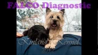 Cairn Terrier Pregnancy 49. Day