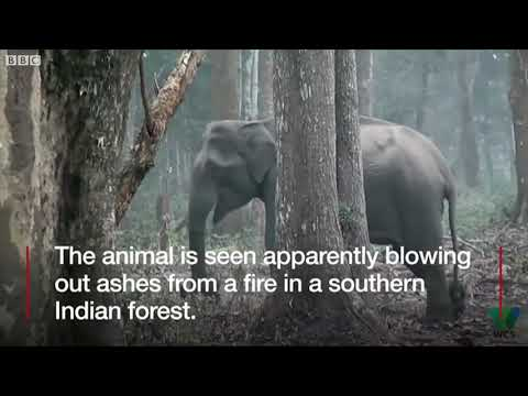 India 'smoking' elephant video goes viral - BBC News