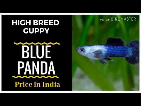 Blue panda Guppy Price in India// High Breed Guppy - YouTube