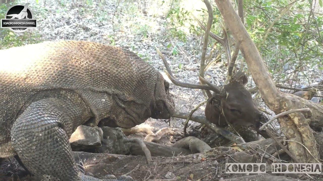 Komodo dragon feed on deer carcass