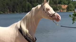 Продается сказочный конь! Изабелловый арабский жеребец