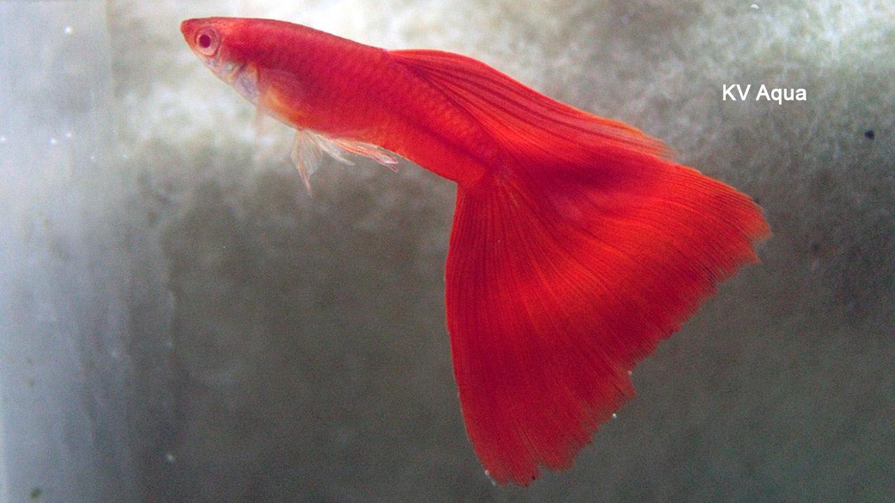 Albino Full Red Guppy at KV Aqua Guppy Fish Farm