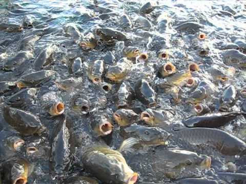 Crazy and popcorn hungry fish of lake mead nevada youtube for Fishing lake mead