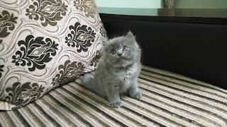 Persian kittens cat male and female contact 9860029057 #Pune