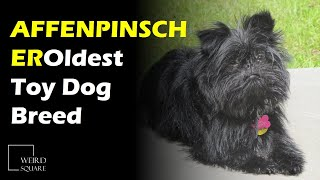 The Affenpinscher is thought to be one of the oldest toy Dog breeds, appearing in Germany.