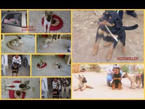 ARMY DOG CENTER BY UMER ALI