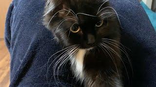 初めて一匹での留守番、飼い主が帰るとゴロゴロ鳴らしながら離れなくなった猫 ラガマフィン A cat that is lonely and stuck with its owner