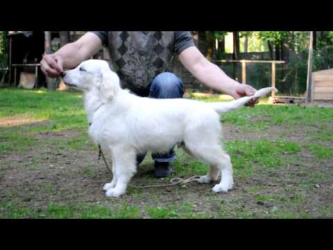 Golden retriever puppy show training. First lesson/Retriever show training.Lesson1