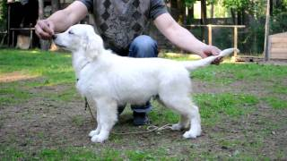Golden Retriever Puppy Show Training. First Lesson/retriever Show Training.lesson1