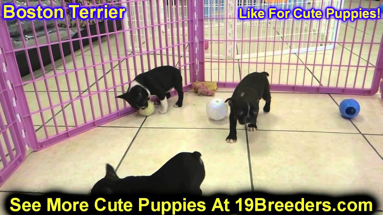 Crib for sale gatineau - Boston Terrier Puppies For Sale In Toronto Canada Cities Montreal Vancouver Calgary Youtube