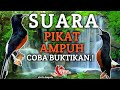 Pikat Burung Murai Batu Dijamin  Mp3 - Mp4 Download