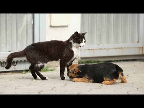 Cats First Encounter With New Puppies