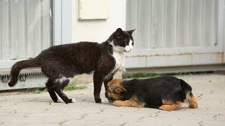 Cats Meeting Puppies for the First Time Compilation 2014 [HD]