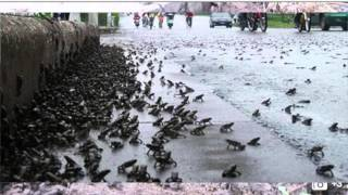 Apocalypse Plague Of Tens of thousands Frogs descend on town