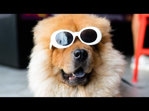 Amazing Facts on Chow Chow | In Hindi | Dog Facts | Animal Channel Hindi