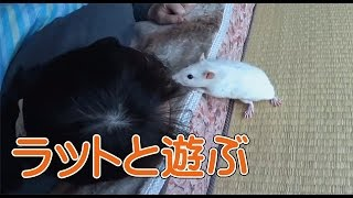 ペットのファンシーラットとじゃれて遊ぶ動画です。