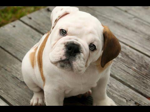 cuidados de el bulldog ingles