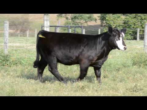 MB Show Cattle  BROKER